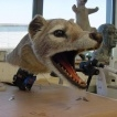 extinct animatronic puppets tasmanian tiger